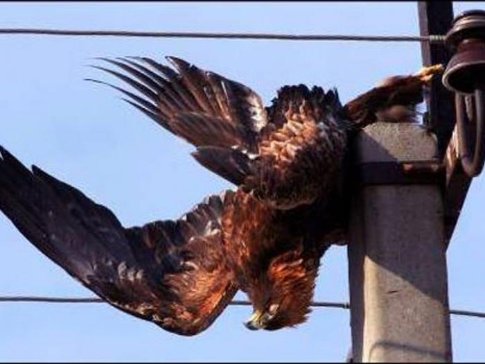 На фото пример большой птицы, которую убило на проводах
