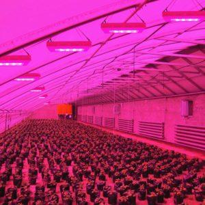 Светодиодное освещение для теплиц должно иметь различные световые спектры