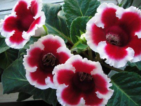 На фото – глоксиния, растение длинного светового дня