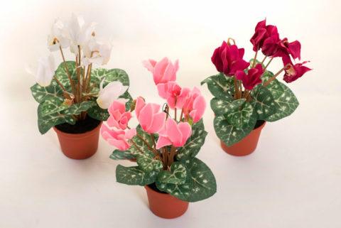 Цикламен – зимний цветок