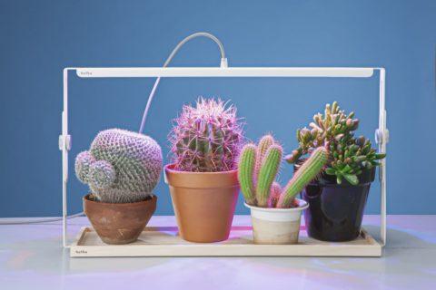 Кактусы – очень светолюбивые растения