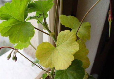 Пожелтение комнатного цветка в условиях недостаточной освещенности